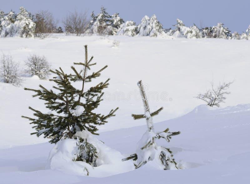 Pini sotto neve fotografia stock