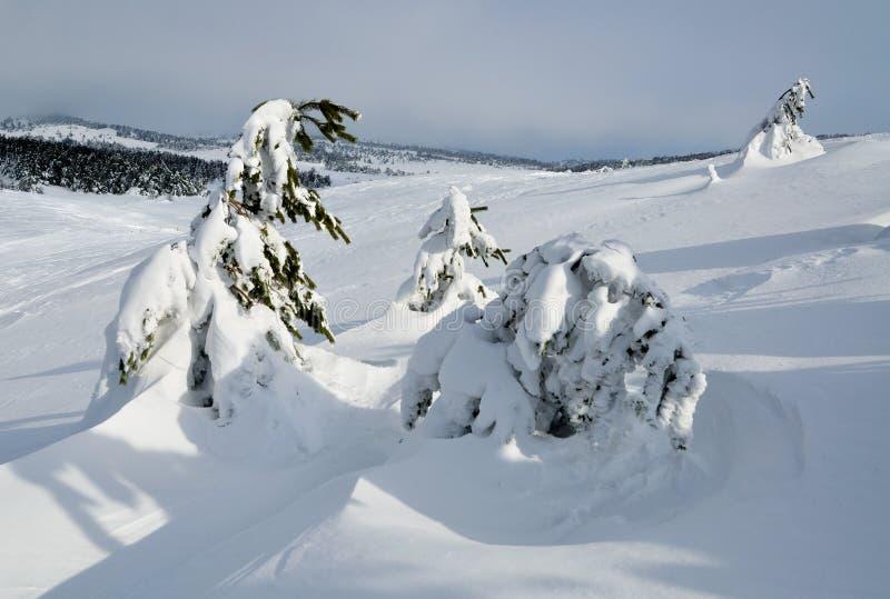 Pini sotto neve fotografia stock libera da diritti