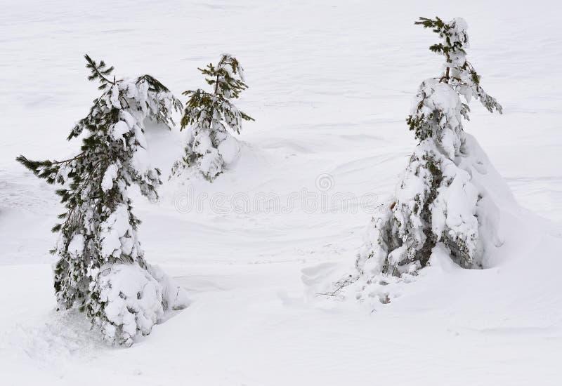 Pini sotto neve immagini stock