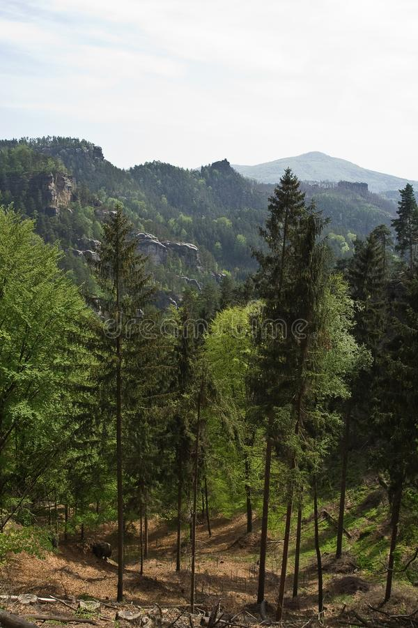 Pini sulla collina della montagna fotografia stock libera da diritti