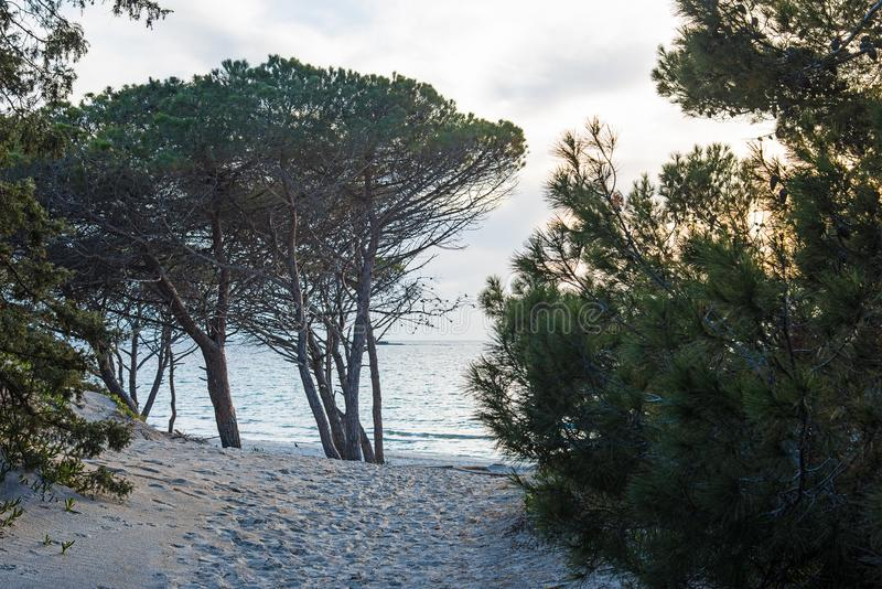 Pini sulla spiaggia fotografia stock