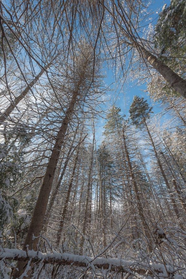 Pini torreggianti di inverno - belle foreste al di sotto della mattina di inverno del cielo blu immagine stock