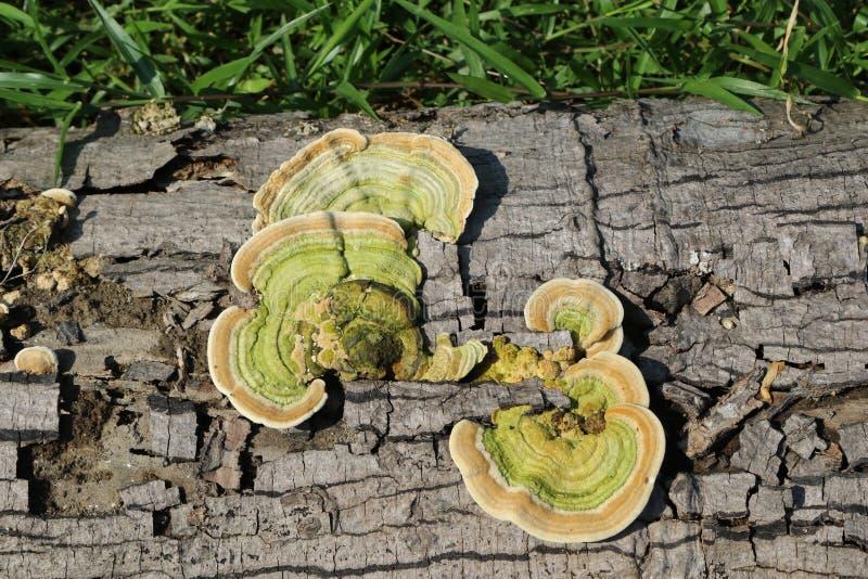 Pinicola de Fomitopsis foto de stock