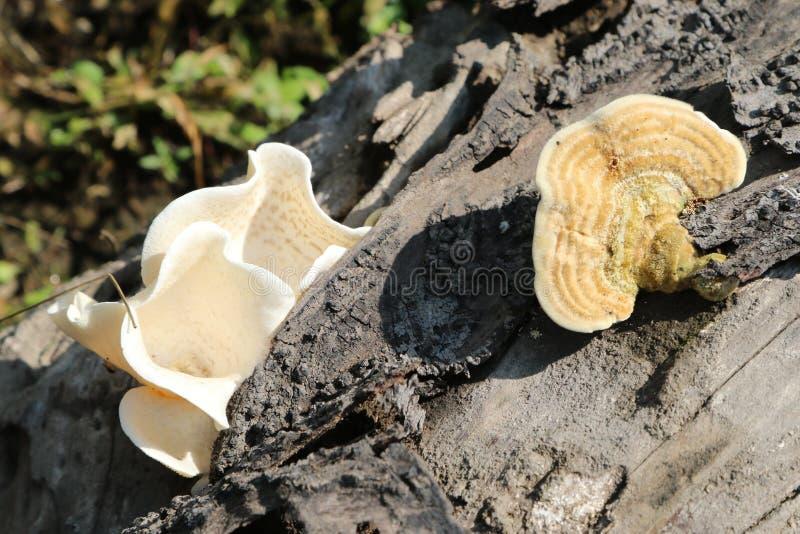 Pinicola de Fomitopsis fotos de stock