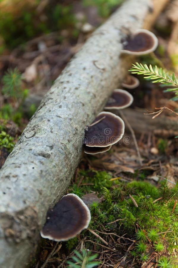 Pinicola fomitopsis on bark, nature ecosystem royalty free stock photography