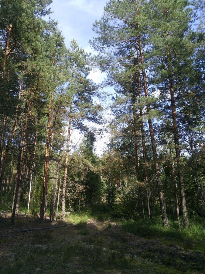 Pinienbäume und Kräutersträucher im Sommer, Waldstämme verzweigen Sonnentage bei Sonnenstrahlen, ruhige ruhige und entspannende P lizenzfreie stockfotografie