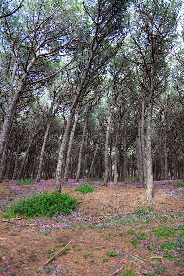 Pinienwald in Pineta di Marina di Cecina entlang der Küste der Toskana lizenzfreie stockfotografie