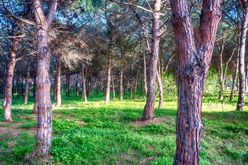 Pinjeskog i en solig eftermiddag royaltyfri fotografi