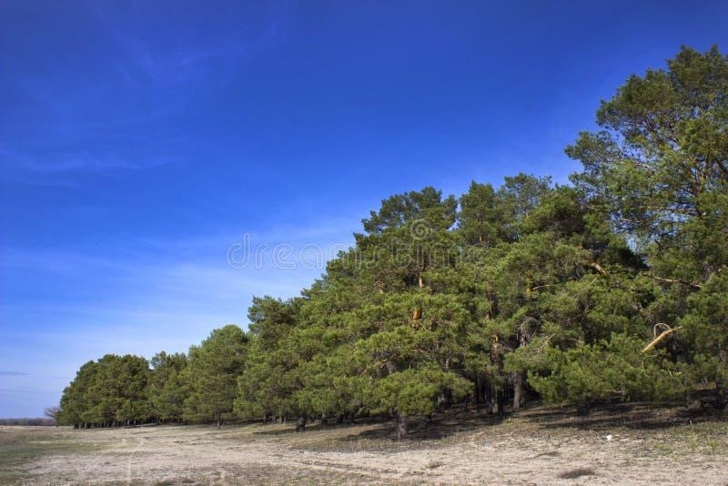 Pinjeskog i klar dag för vår royaltyfria foton