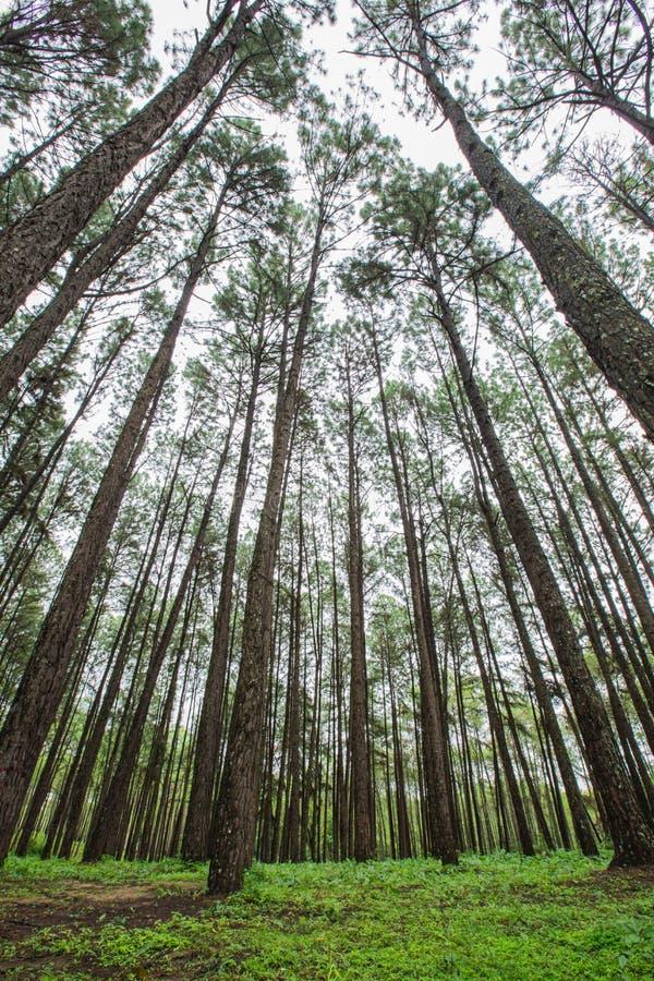 Pinjeskog i regnig säsong arkivbilder