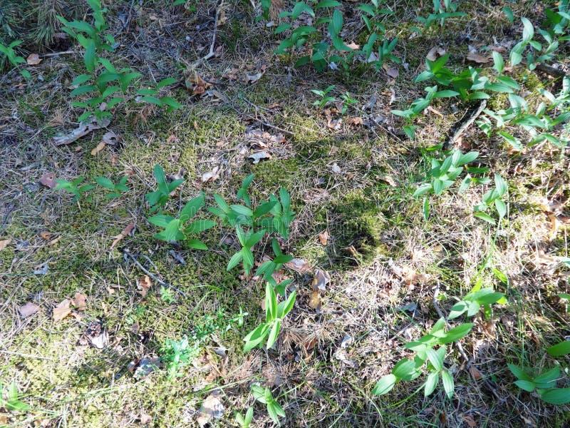 Pinjeskog i sommar 30 arkivbilder
