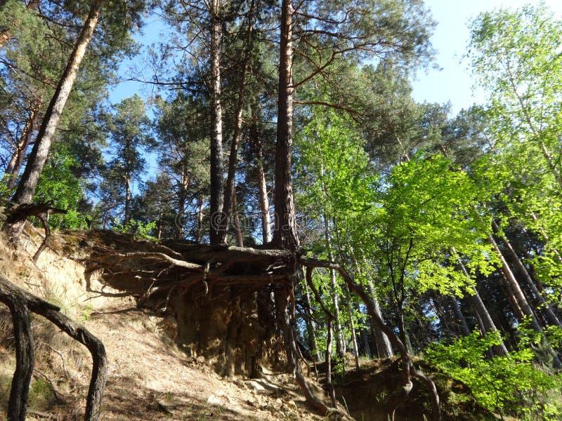 Pinjeskog i sommar 43 fotografering för bildbyråer