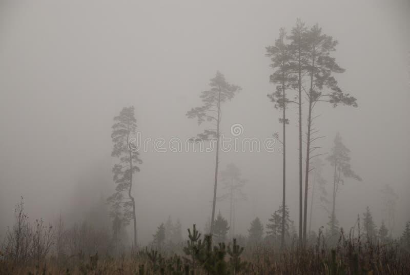Pinjeskog i tung dimma royaltyfri bild