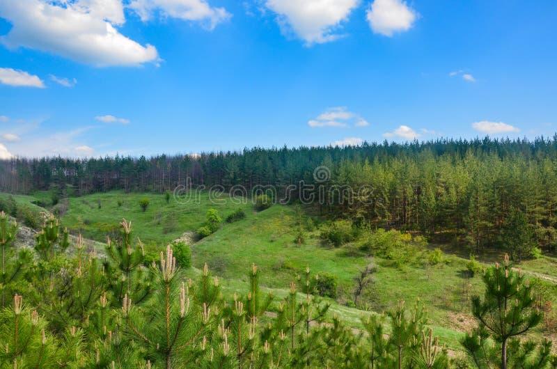 Pinjeskog mot en blå himmel med moln på en sommardag arkivbild