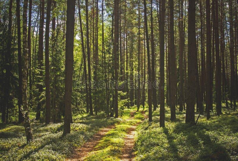 Pinjeskog och en bana fotografering för bildbyråer