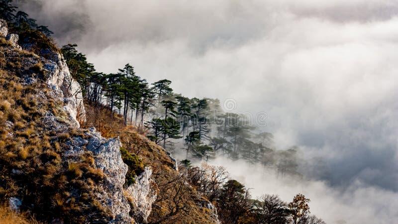 Pinjeskog på berglutning i dimma arkivfoton