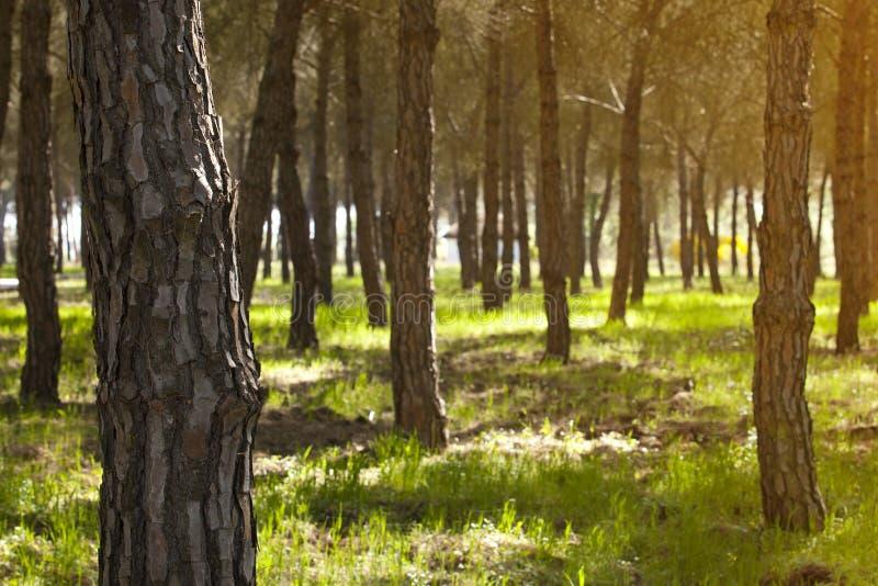 Pinjeskog på den Donana nationalparken royaltyfria foton