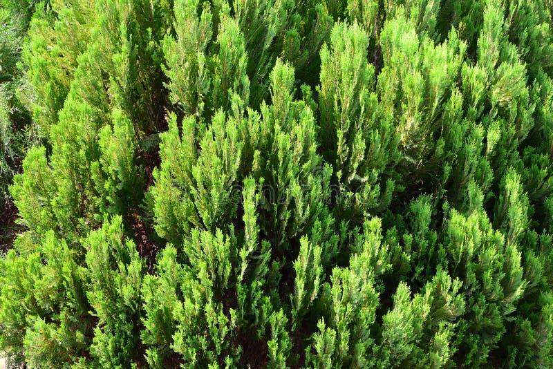 Pinjeskog som beskådas från en hög vinkel fotografering för bildbyråer