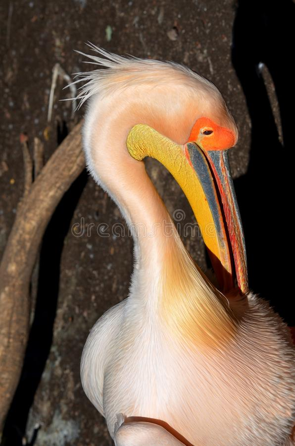 Pink пеликан стоковое фото rf