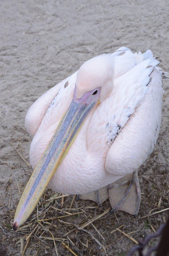 Pink пеликан стоковые изображения
