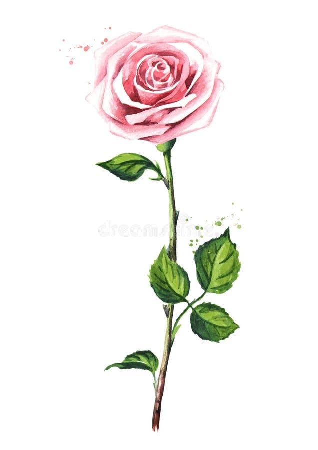pink розовая Иллюстрация акварели нарисованная рукой, изолированная на белой предпосылке иллюстрация штока