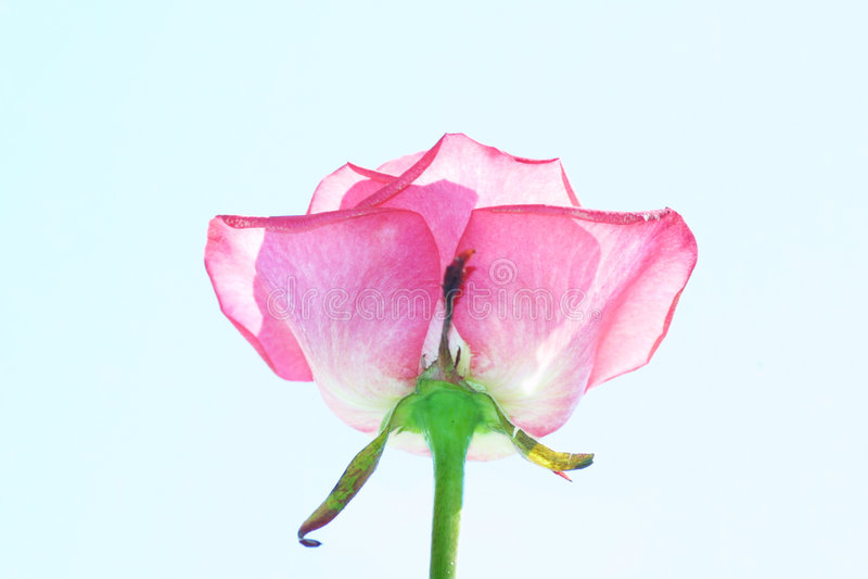 pink розовая стоковые изображения rf