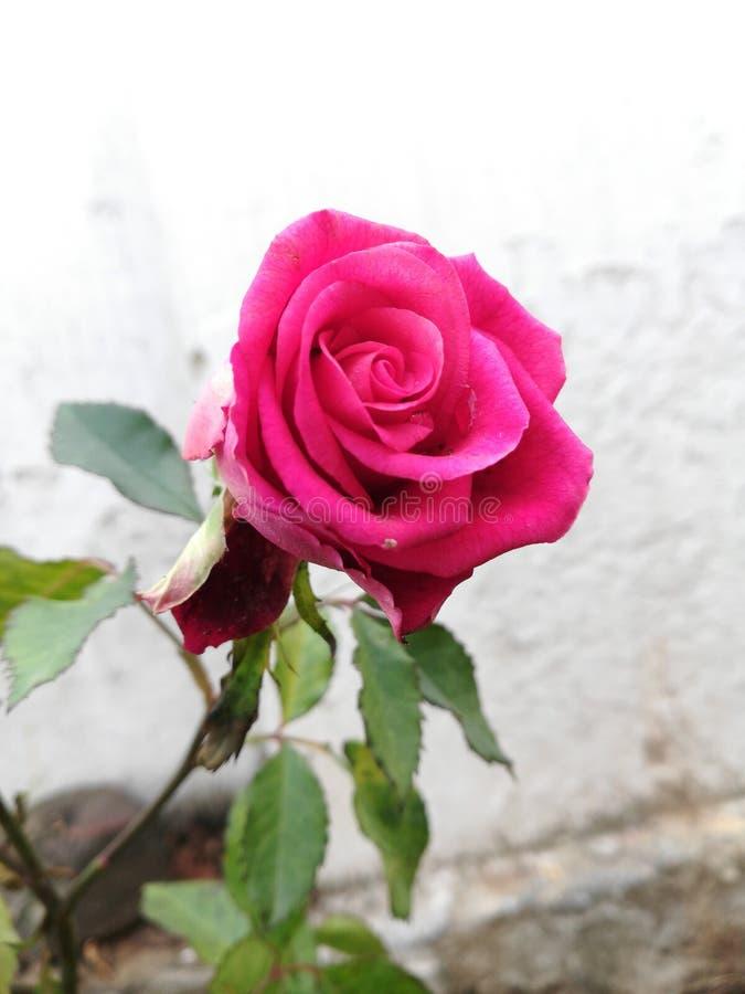 pink розовая стоковое фото rf