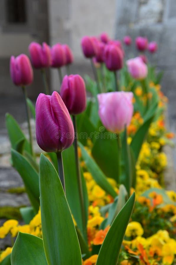 pink тюльпан стоковое изображение rf
