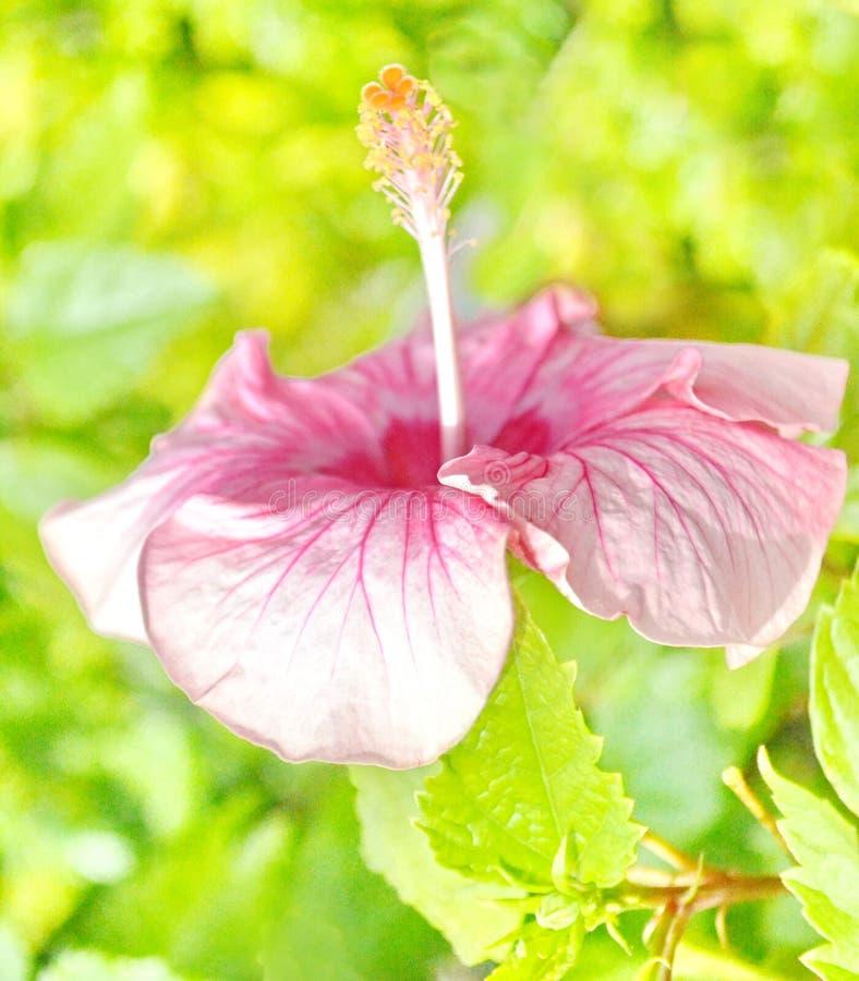 Pink цветок Hibiscus стоковые изображения