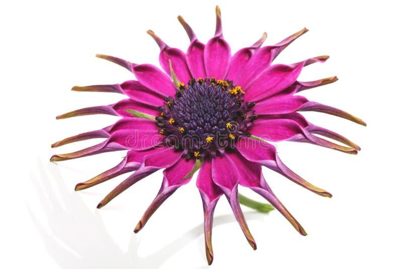 Pink royalty-vrije stock fotografie