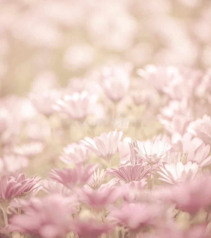 Daisy flowers field. Pink abstract floral background, daisy flowers, soft focus, spring nature, blooming meadow, shallow depth of field stock photos