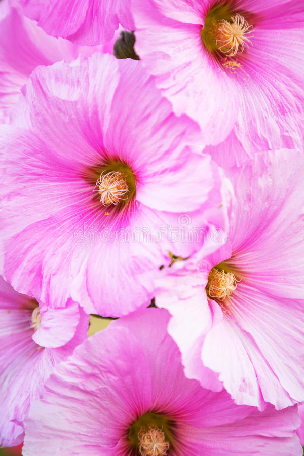 Download Pink Alcea flowers stock photo. Image of flower, herbal - 30835972