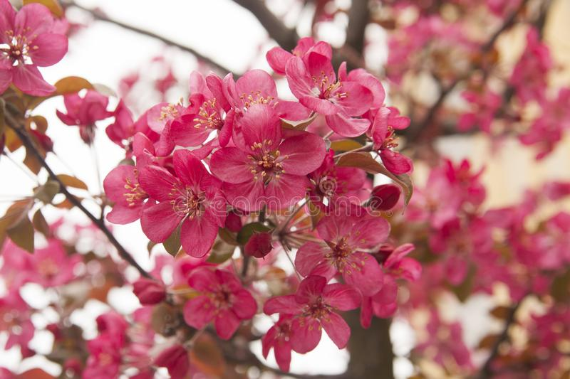 Pink almond flowers, latin name Prunus dulcis royalty free stock image