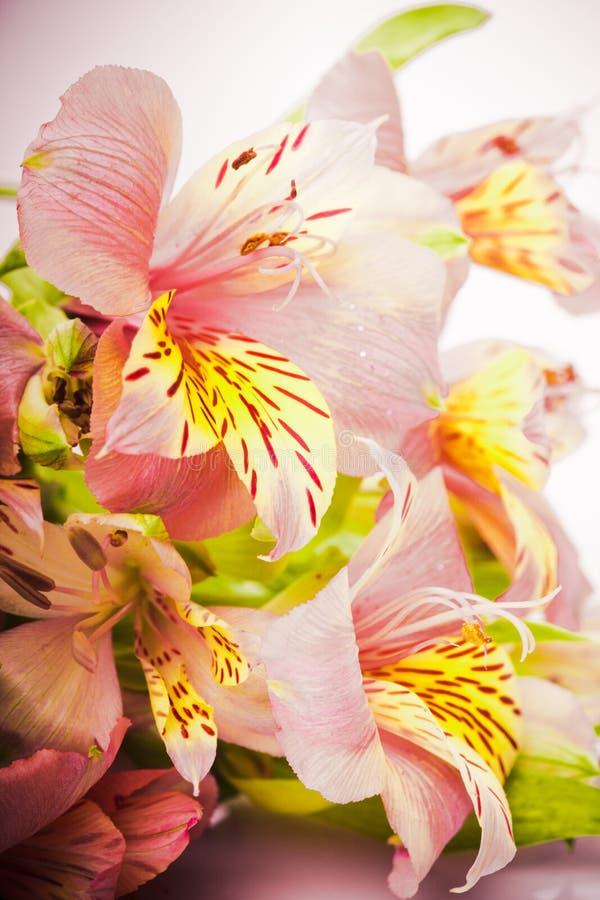 Download Pink alstroemeria stock image. Image of garden, beauty - 22763475