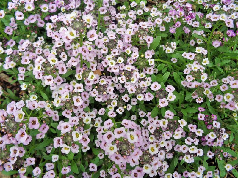 Pink Alyssum lobularia maritima Field Composition. This photo is a close up field composition of pink Sweet Alyssum Flowers. These tiny flowers are about 1/8` stock photos