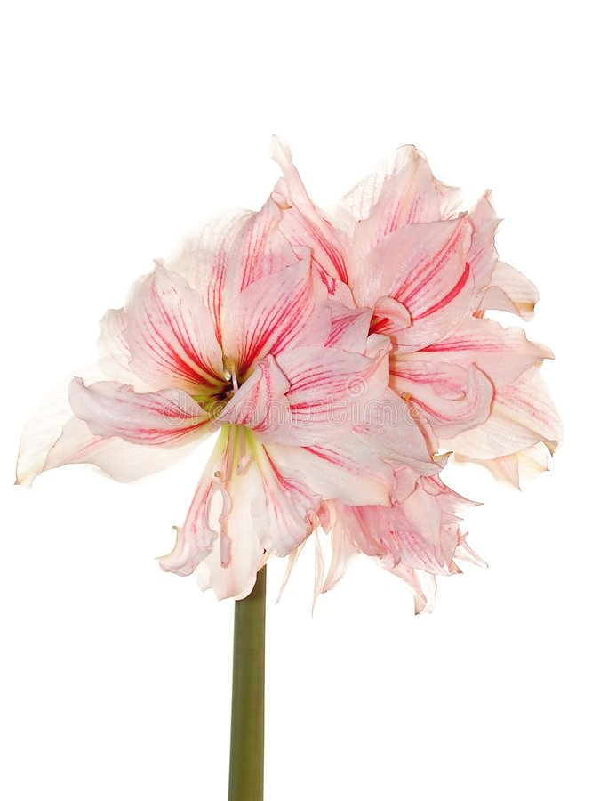 Pink amaryllis. Macro shot of a pink amaryllis, isolated on white; also known as the Belladonna Lily royalty free stock images