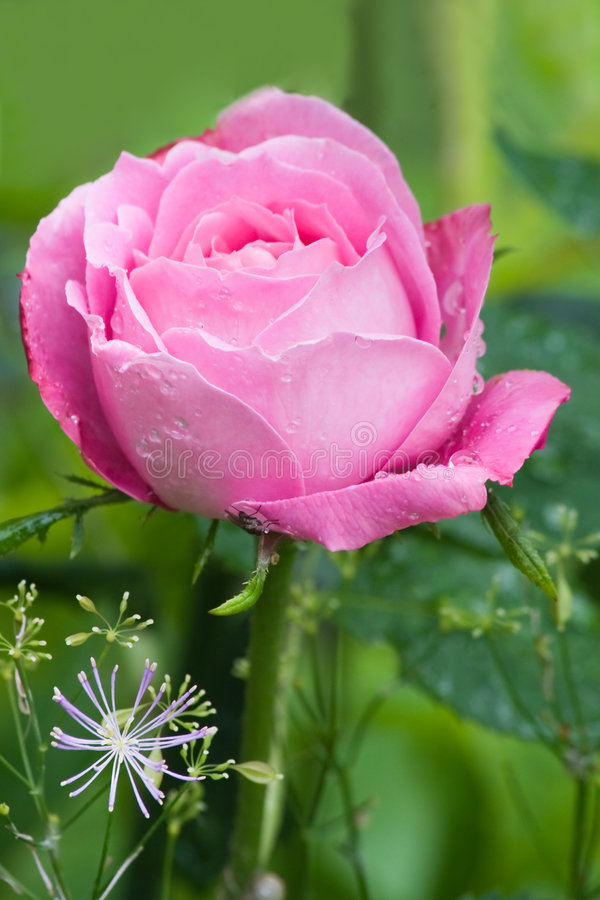 Free Pink And Very Fragrant Rose Stock Photography - 7493782