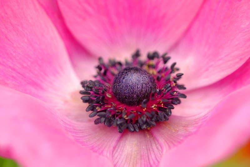 Pink Anemone Royalty Free Stock Photo
