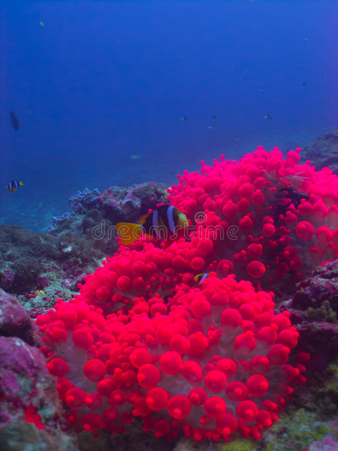 The pink anemone. Whit the clownfish at Similan stock photography