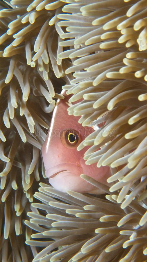 Mobile phone wallpaper; unique macro marine background. Pink anemonefish, Amphiprion perideraion, peering out from the safety of its giant carpet anemone host