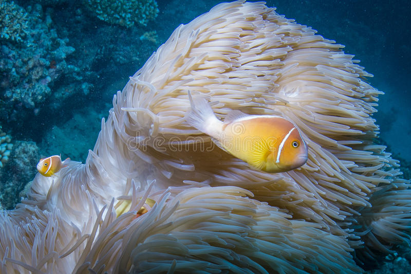 Pink Anemonefish. Two Pink Anemonefish or Pink Clownfish with Anemone in the Great Barrier Reef royalty free stock image