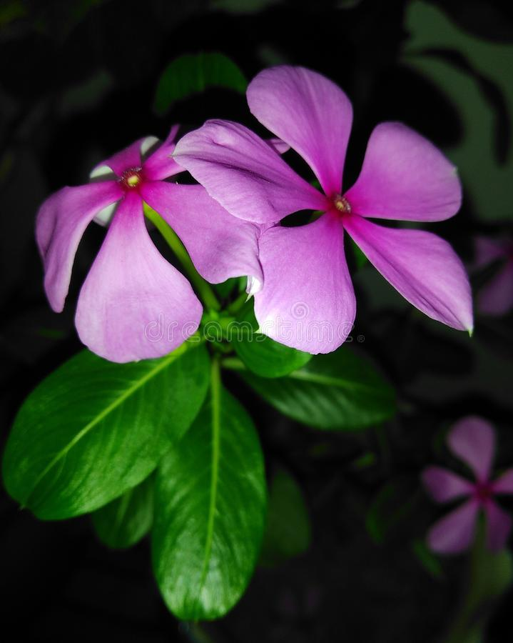 Pink Annual Vinca. Vinca, popularly known a Madagascar periwinkle or myrtle, is a beautiful shiny flower with green foliage. Annual Vinca is a saucer shaped royalty free stock photo
