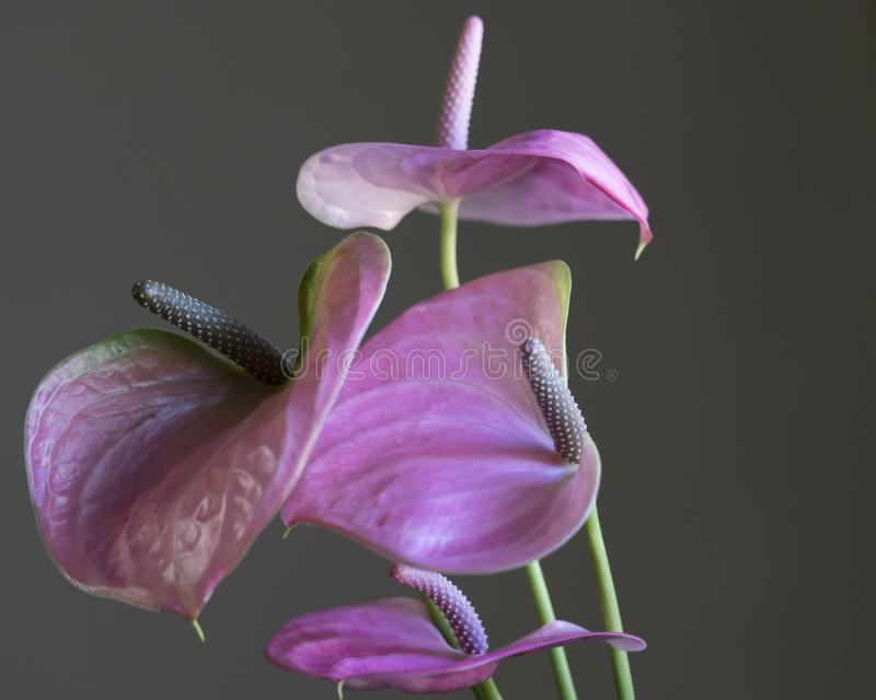 Pink anthurium in the vase royalty free stock image