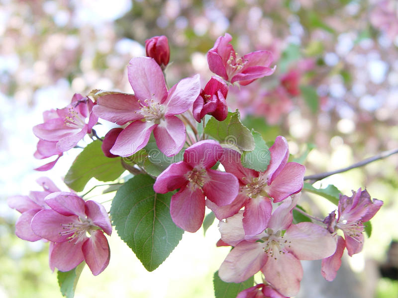 Pink apple blossom. A branch of delicate pink apple blossom royalty free stock photography