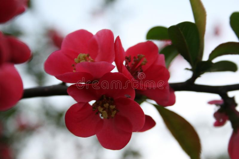 Pink apple blossom. Detail of a pink apple blossom, pink blossom in spring royalty free stock photo
