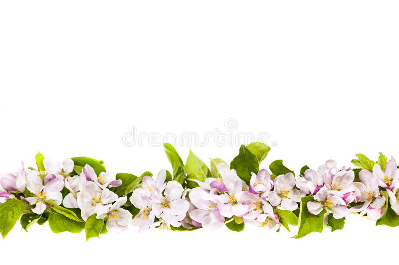 Pink apple blossoms border. Border of pink apple blossoms row isolated on white background royalty free stock photography
