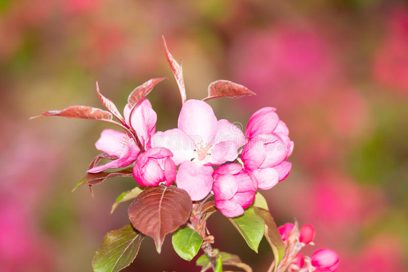 Pink apple blossoms. Closeup of pink apple blossoms royalty free stock images