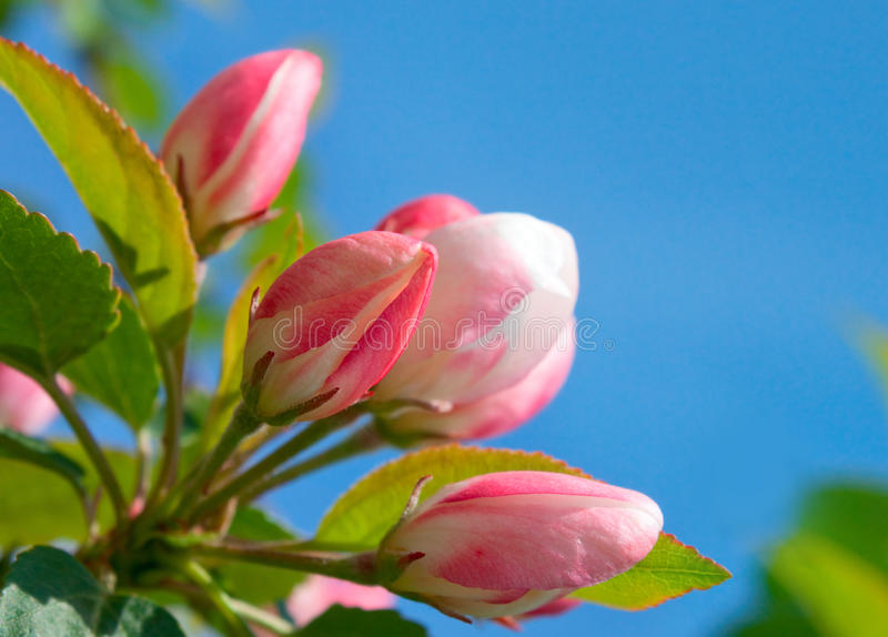 Pink apple flowers. And blue sky stock image