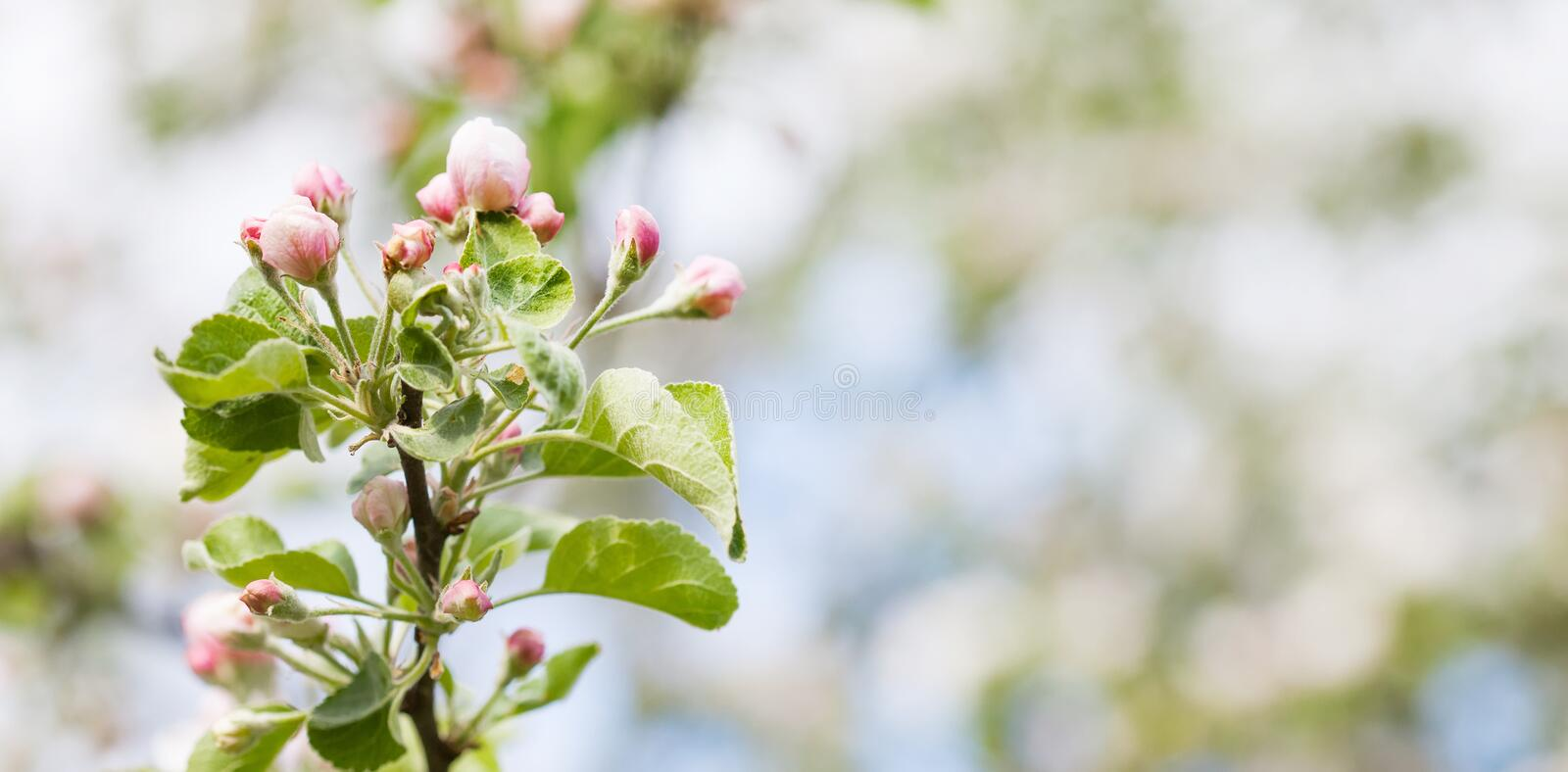 Pink apple flowers macro view. Blooming fruit tree. Spring nature landscape. Soft background.  royalty free stock photo