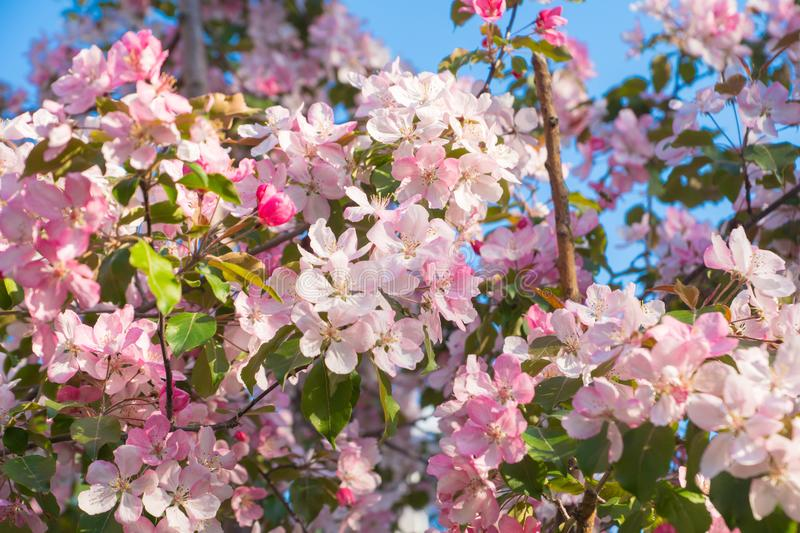 Pink apple flowers. Spring background stock image